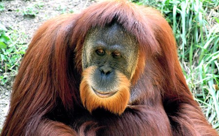 drone used to track orangutans